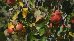 Bunches of red ripe apples on a tree - stock footage