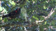 Akohekohe (Palmer dolei) Crested Honeycreeper - stock footage