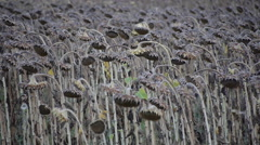 Field of faded sunflowers in fall Stock Footage