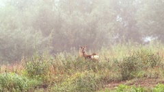 Beautiful roe deers eating grassin the morning, Full HD footage in warm light. Stock Footage