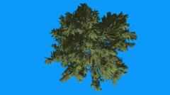 Douglas Fir Crown Top Down Blue Screen Pseudotsuga Tree is Swaying at The Wind Stock Footage