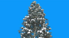 Blue Spruce Snow on Branches Cones Picea Pungens Tree is Swaying at The Wind Stock Footage