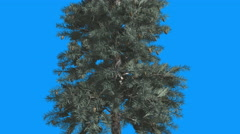 Blue Spruce Cones Picea Pungens on Blue Background Tree is Swaying at The Wind Stock Footage