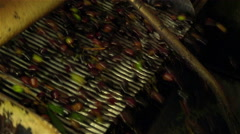 Olive oil production: washing the olives before the milling: olive oil mill  Stock Footage