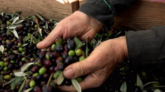 Farmers choosing olives to produce olive oil Stock Footage