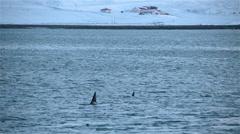 Killer whales swimming near shore farm house snowy Grundarfjordur Iceland Stock Footage