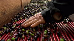 Farmers choosing olives to produce olive oil: extra virgin oil production Stock Footage