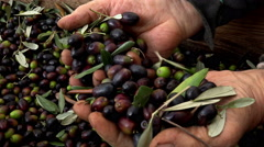 handmade work of olives selection for olive oil production: oil milling  - stock footage