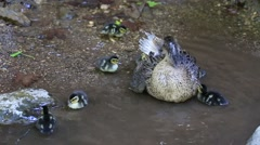 Mother duck with her ducklings swimming in the water on the river in Turkey Stock Footage
