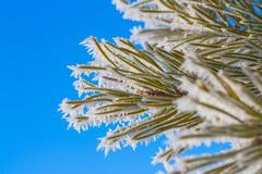 Hoar Frost on Pine Needles Stock Photos