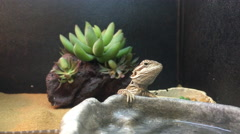 Bearded dragon lizard for sale at pet store 4k - stock footage