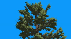 Douglas Fir Top of Tree Green Leaves Evergreen Tree is Swaying on the Wind Stock Footage