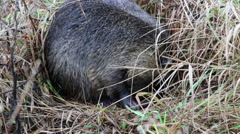 Nutria (Myocastor coypus), in native habitat Stock Footage