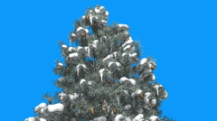 Blue Spruce Top of Tree Snow Cones on a Branches Green And Blue Leaves on Blue Stock Footage