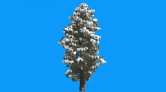 Eastern Red Cedar Snow on a Branches Juniperus Virginiana Tree is Swaying at Stock Footage