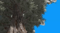 Eastern Red Cedar Coniferous Tree Down Up Snow Trunk Green Branches Blue Screen - stock footage