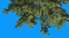 Douglas Fir Top of Tree Top Down Green Leaves Evergreen Tree is Swaying on the Stock Footage