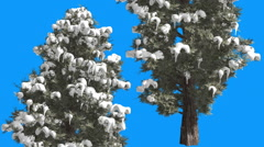 Eastern Red Cedar Two Coniferous Trees on Blue Screen Snow on Branches - stock footage