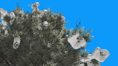 Eastern Red Cedar Coniferous Tree Snow on a Top Green Leaves on Blue Screen - stock footage