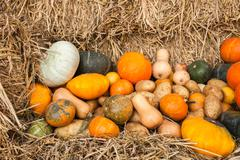 Pumpkin and tuber crop on yellow straw - stock photo