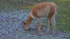 The guanaco (Lama guanicoe) Stock Footage