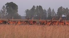 Herd of male and female bucks deers grown in captivity on pasture. 4K Stock Footage