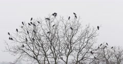 Stock Video Footage of Black Ravens On The Tree Branch 4k