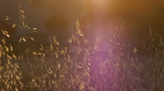 Dry grass with flying insects Stock Footage