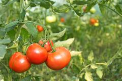 Red tomatoes ripening in greenhouse Stock Photos