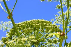 Giant Hogweed with ripening seeds - stock photo