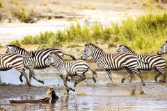 Zebras runs in the water - stock photo