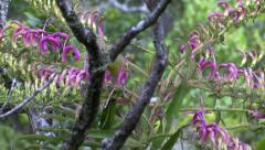 Kaua`i `Amakihi (Chlorodrepanis stejnegeri) on Trematalobelia - stock footage