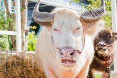 Closeup Thai Albino buffalo (Pink buffalo) - stock photo