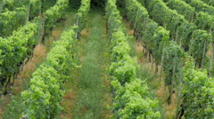 The grape vineyard for wine production in France Stock Footage