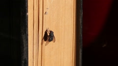 Housefly sitting on old book and actively cleaning wings. Stock Footage