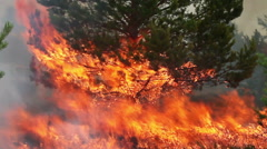 Huge forest fire flames in to young pine tree. Stock Footage