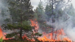 Forest fire flames swallow young pine tree. Stock Footage
