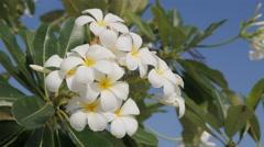 Plumeria flowers in tree,Bangkok,Thailand - stock footage