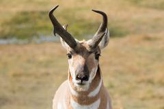 Pronghorn - stock photo