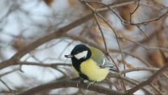 Great tit pecks seed while sitting on a branch (no inter-frame compression) - stock footage