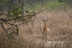 Stock Photo of Impala in a the savanna de Gorongosa National Park