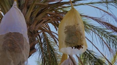 Tunisia, date palm cultivation Stock Footage