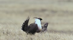 Greater Sage Grouse Stock Footage