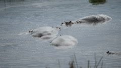 Hippopotamus amphibius in water Stock Footage