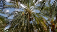 Tunisia, date palm cultivation - stock footage