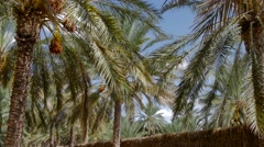 Stock Video Footage of Tunisia, date palm cultivation