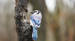 Blue Jay Stock Footage