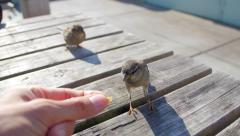 Small bird on table eating from hand Stock Footage