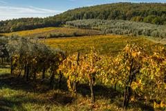 Panoramic landscapes of vineyard and olive tree - stock photo