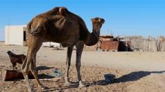 Sahara desert, dromedary camel eating Stock Footage